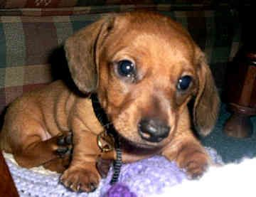 Miniature Dachshund Puppies Rescue | Home » Picture » miniature dachshunds miniature dachshunds dogs back ...