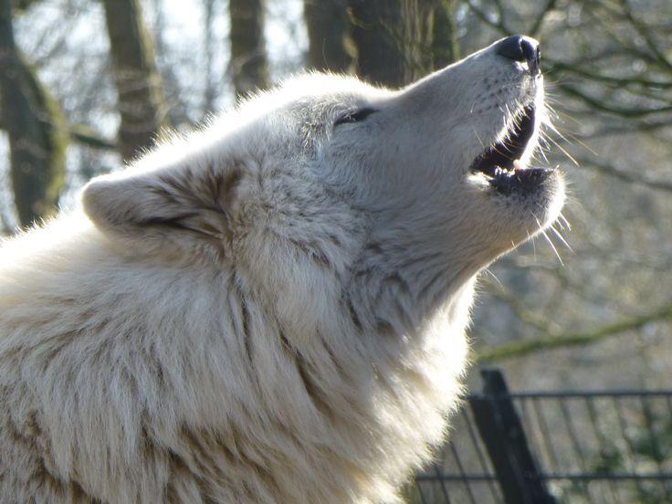 Thema dieren - Huilende wolf
