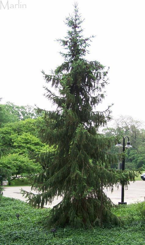 Serbian Spruce  Zone 4-7, drought tolerant  Ht 50-60', spread 20-25'  slow growth, needs rich, moist acidic soil and full sun