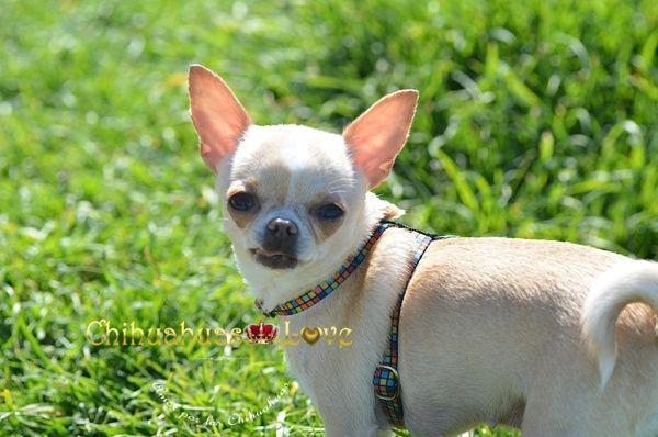 Chihuahuas Love - Chihuahuas en Primavera. La Primavera y Los Perros Chihuahua. La Procesionaria.