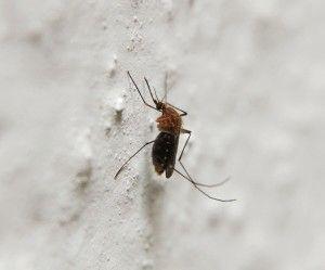 5 remèdes naturels anti-moustiques vraiment efficaces