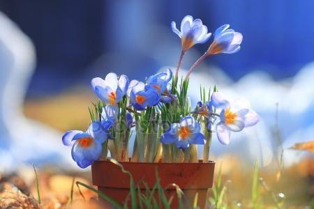 Primavera fiori crocus blu — Immagini Stock #67870413