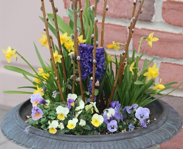 Spring Container Ideas   Pansies make incredible container plants and fillers to add to your spring flowering bulbs because they offer nonstop color.Cut some Pussy Willow and/or some Yellow Stemmed Dogwood stems from your yard and stick those stems into the center of the container for some height and additional interest. A finishing touch would be to add some shredded mulch. Cover the soil with the mulch of your choice to really finish the look!