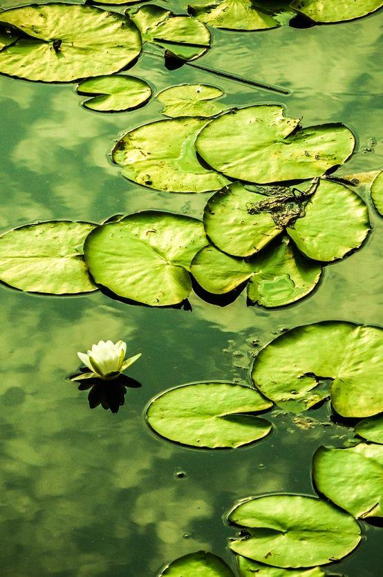 Green... VITÓRIA RÉGIA ....muito comuns aqui no BRASIL...VERDE QUE TE QUERO VERDE...