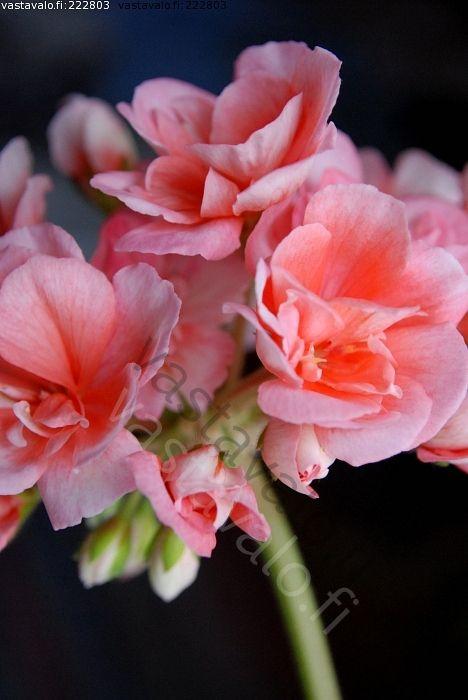 Pelargonia - pelargonium zonal / Vastavalo.fi