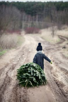 Funny, a picture of someone, a child or adult dragging a tree home, caveman style, is always appealing, but I can't imagine it does the tree any good !