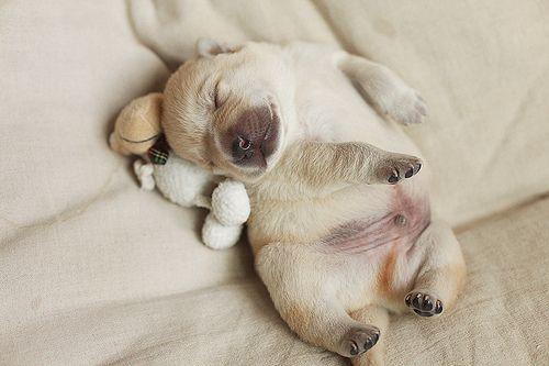 sleeping pup!Sleepy Time, Dogs, Sleepy Puppies, Sweets Dreams, Adorable, Naps Time, Sleep Baby, Sleep Puppies, Animal