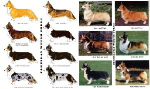 Pembroke & Cardigan - Welsh Corgies, the colors