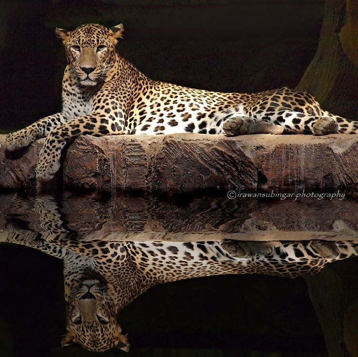 Panthera Pardus Kotiya. Macan Tutul, Sri Lanka  // photo by Irawan Subingar, 2013