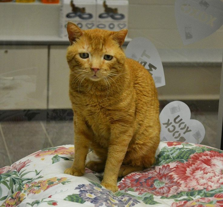 A ginger cat who had the most sorrowful eyes on his face and a difficult life filled with tribulation and pain, was turned around by love. After a long time waiting, he finally found his smile!Meet Nutmeg! Lollypop Farm, the Humane Society of Greater Rochester A five-year-old ginger ...