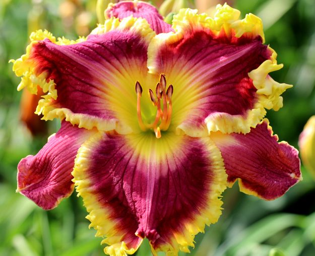17 Best Images About Daylily Love On Pinterest Gardens
