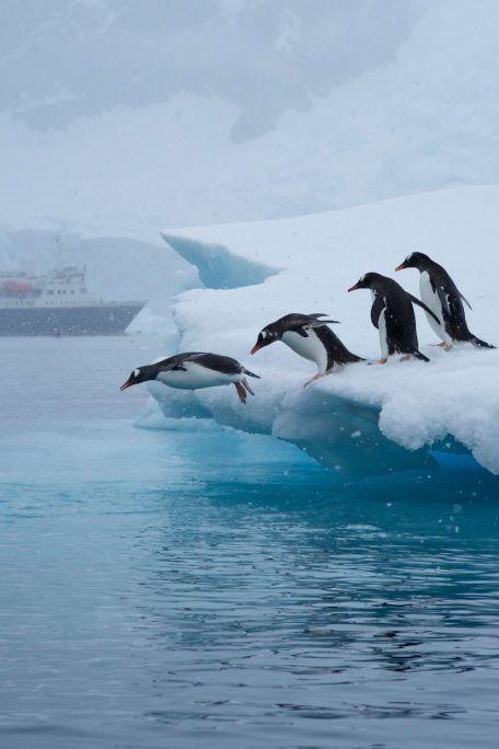 penguins take the leap off an iceberg in neko bay, antarctica   bird + wildlife photography