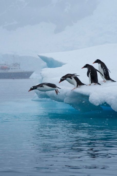 penguins take the leap off an iceberg in neko bay ...