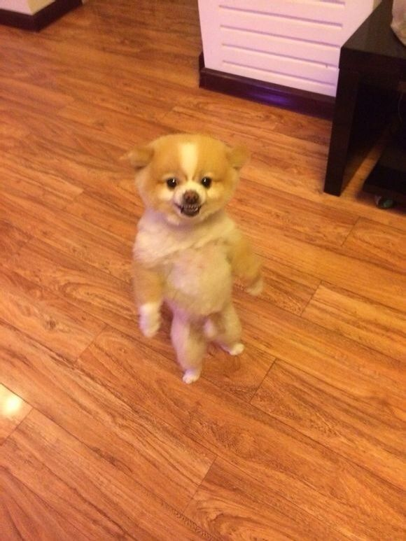 This Pomeranian apparently got so upset with his new haircut that he started standing and walking around on his hind legs after he got back from the groomers for  days