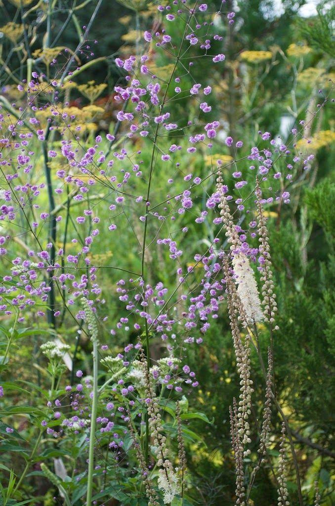 160 best Ängelmät Thalictrum images on Pinterest | Garden plants ...