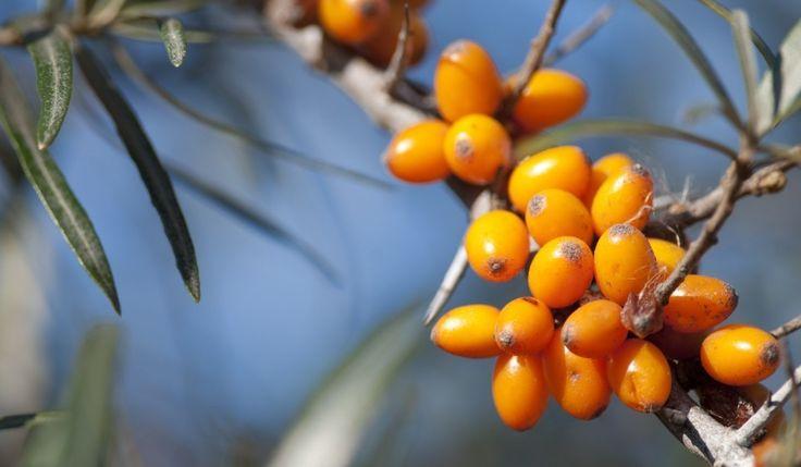 Puţine plante din flora autohtonă, ba chiar mondială pot rivaliza cu cătina românească în privinţa calităţilor curative şi diverselor aplicaţii medicale. Cu fructele sale, ca nişte bobiţe aurii care se coc toamna, cătina ne oferă un nesperat ajutor tuturor, indiferent de vârstă sau afecţiuni. Vitaminizantă de excepţie, antioxidantă redutabilă şi neîntrecută stimulatoare a sistemului imunitar, cătina are încă multe valenţe necunoscute publicului larg.
