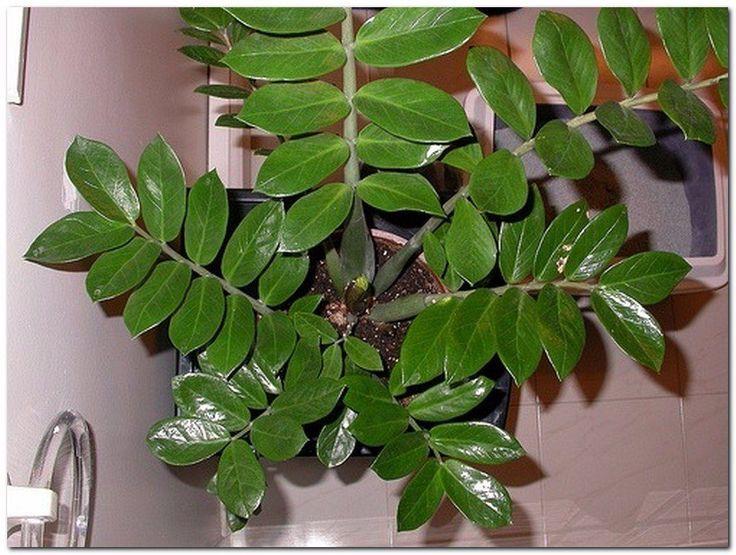 """Zamioculcas или """"долларовое дерево"""" - секреты ухода  Долларовое дерево появилось на прилавках магазинов совсем недавно. Еще несколько лет назад отечественные цветоводы и знать не знали о том, что такое растение существует в природе. Этот дивный гость прибыл к нам из Восточной Африки. Его родиной считаются Занзибар и Мадагаскар.  Условия содержания Происхождение данного представителя флоры следует учитывать для того, чтобы понять, как ухаживать за долларовым деревом.  Любит оно тёплые…"""