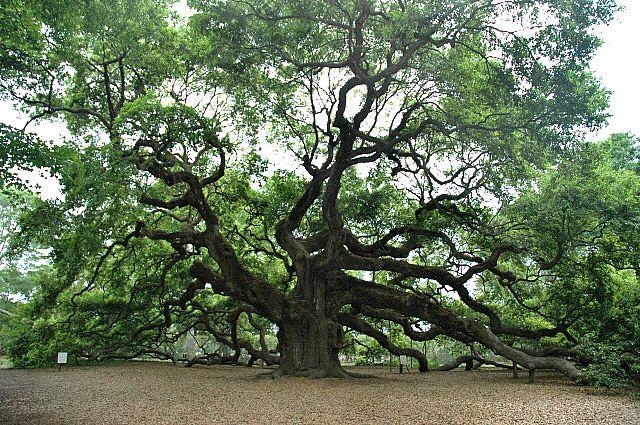 Angel Oak on Johns Island, South Carolina: Charleston's Angel Oak