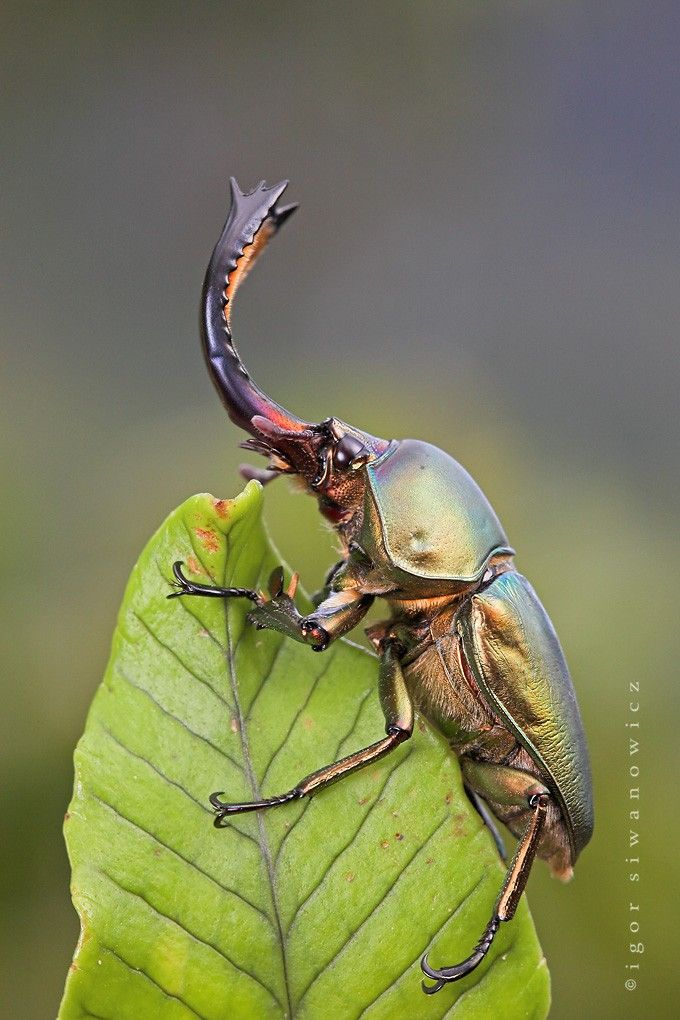 Igor Siwanowicz don't know name of insect. I will call it the elephant beetle