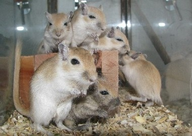 85 Best Ideas About Gerbils On Pinterest Hamsters A