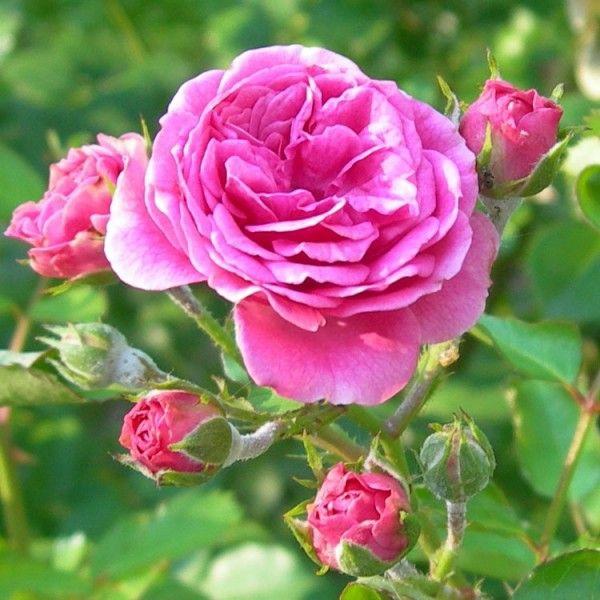 Rosa cv