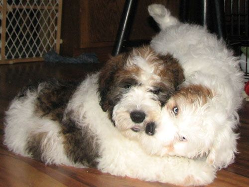 St Berdoodle (St Bernard-Standard Poodle Mix) Info and Pictures