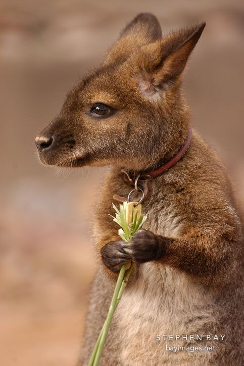 Not just a baby kangaroo. a baby kangaroo with a collar and a license. This is somebody's pet!