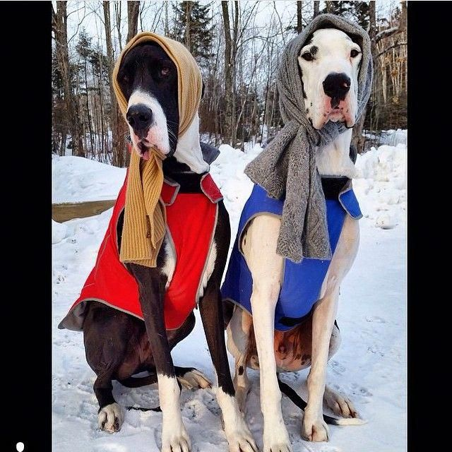 Figure Out Even More Information On Great Dane Dogs Look At Our