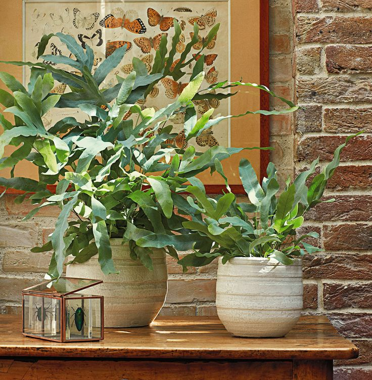 Phlebodium aureum blue star truffaut plantes d for Fougere interieur