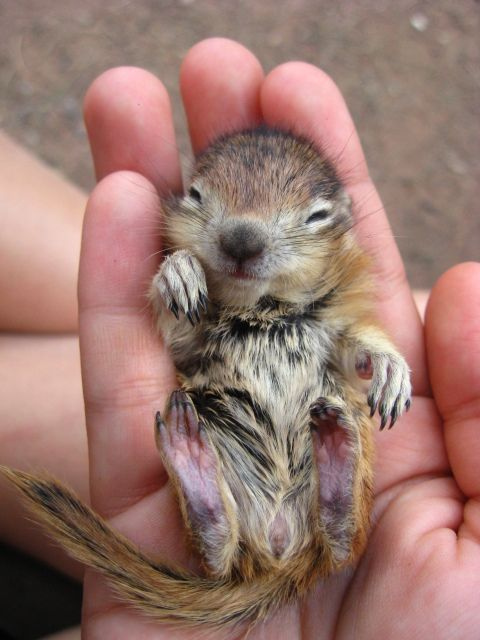 baby chipmunk.  I'm sure this little guy was orphaned due to my grand-kitties' blatant hunting!!