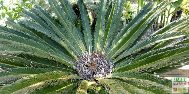 cycas revoluta un faux air de palmier le jardin se partage jardins jardinage et cultiver. Black Bedroom Furniture Sets. Home Design Ideas
