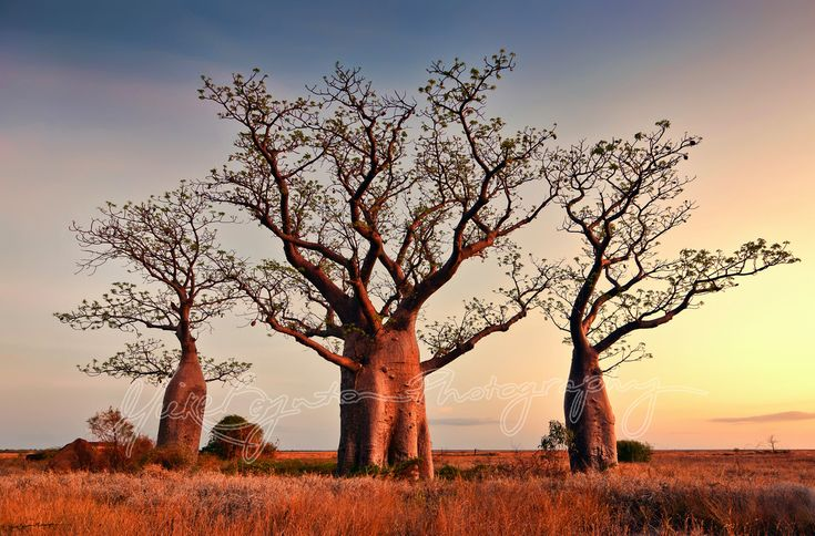 """Trinity"" © Mieke Boynton. Boab trees on the mudflats near Derby, Western Australia. www.miekeboynton.com"