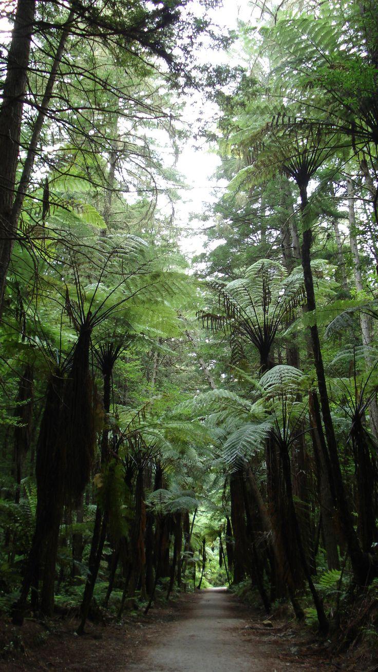 New Zealand's native luscious green Forests....Punga Forest, near Rotorua,North Island,New Zealand