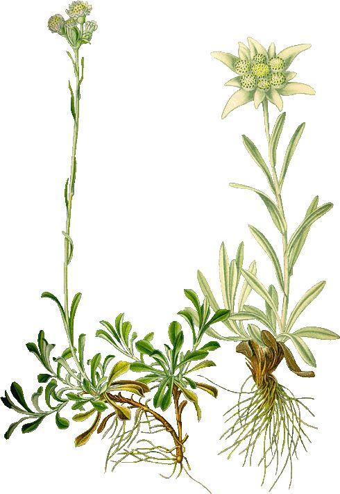 Leontopodium_alpinum.gif 490×711 pixels