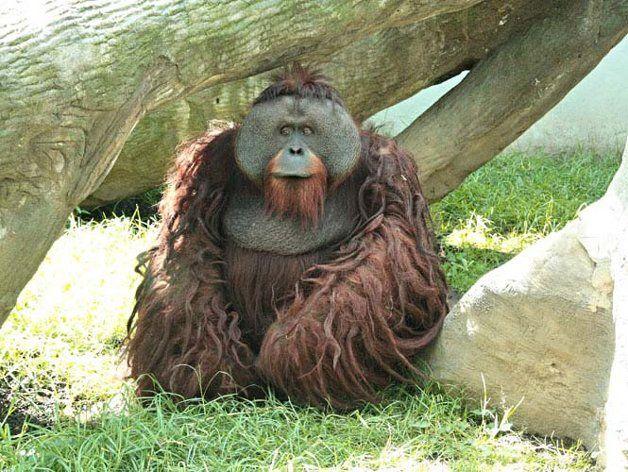 Arranca orangután dedo a estudiante en Zoológico de Chapultepec - http://notimundo.com.mx/mexico/arranca-orangutan-dedo-estudiante-en-zoologico-de-chapultepec/10883