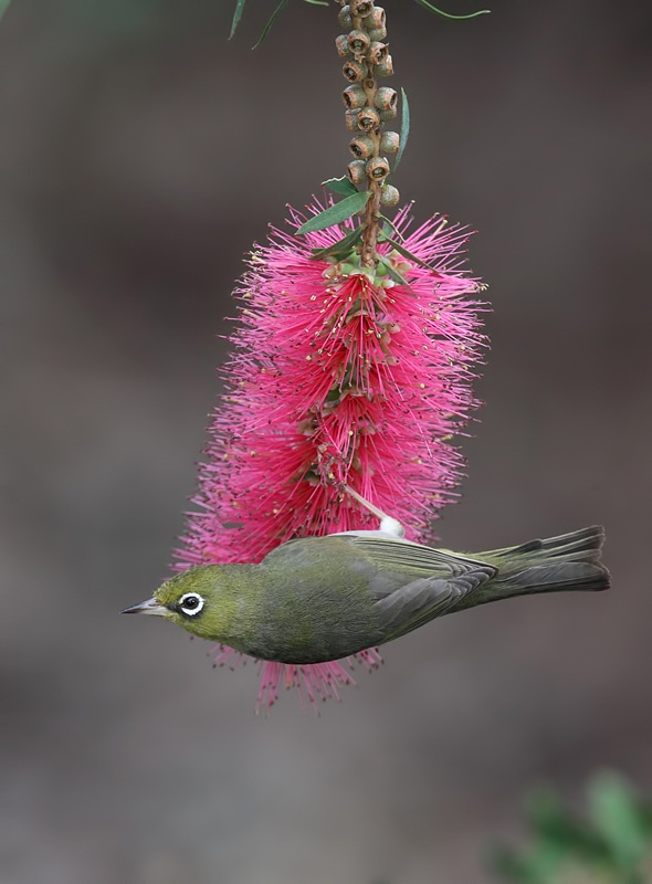 Silvereye on a 'Bottlebrush' flower, southern Western Australia. October 2011.