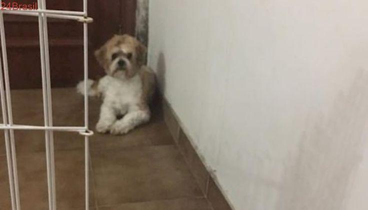 Protetora pede ajuda para pagar tratamento de cachorrinha abandonada da raça lhasa em SP
