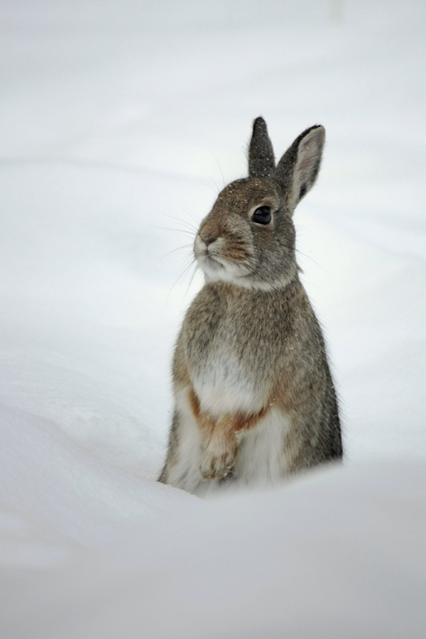 winter rabbit critters pinterest. Black Bedroom Furniture Sets. Home Design Ideas