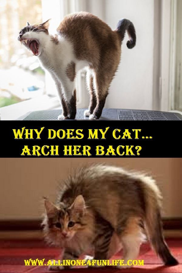 Why Does My Cat Arch Her Back Love Pet Animals Pets