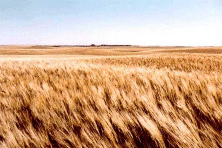 The Haugen Family Farm rural North Dakota wheat field.  Farmland for Sale.