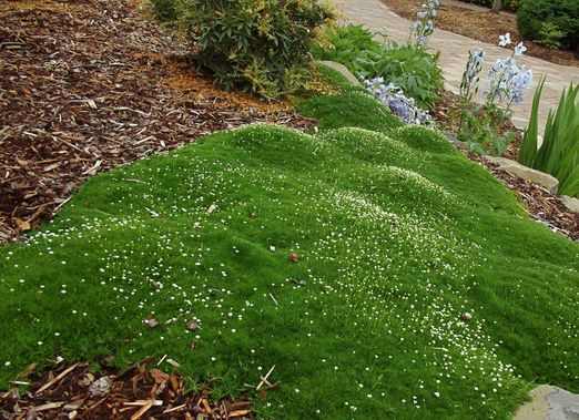 Irish moss ground cover dream home landscape for Best plants for japanese garden
