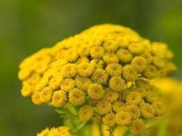 Wrotycz pospolity (Tanacethum vulgare) - Recepty Natury