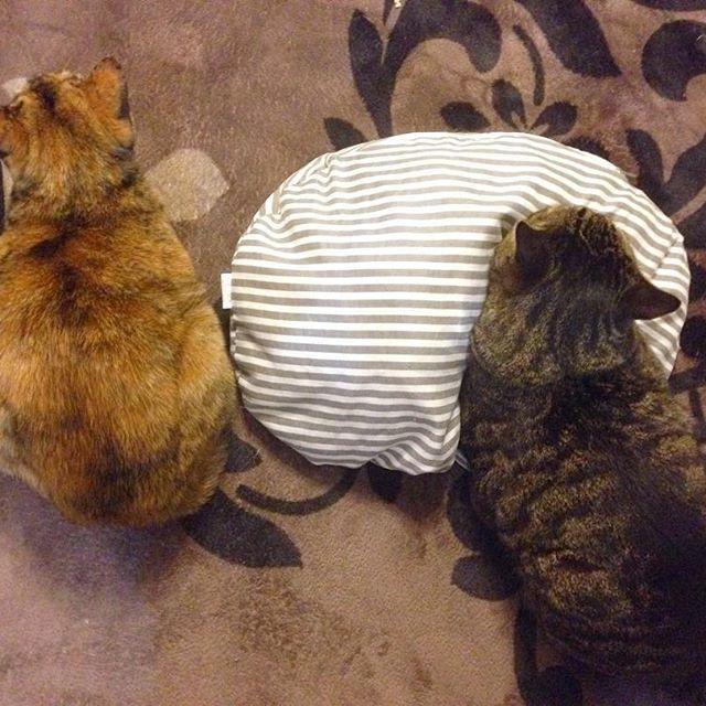 ・ 昨夜のハルラン🐈🌸 #愛猫#猫#ねこ#ネコ#ネコ部#にゃんこ#にゃんすたぐらむ#ねこすたぐらむ #ねこ部#ふわもこ部 #ぺこねこ部 #ねこばか#ねこのいる生活 #ねこ好き#みんねこ#可愛い#猫バカ#猫バカ部#にゃんだふるらいふ#きじとらねこ#cat#cats#catsofinstagram#catslover#catsagram#ilovecats#catslover#catslovers#cute#ilovecats#lovely