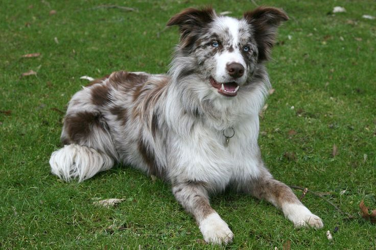 I just really want Vito to have a Border Collie sister that looks like this