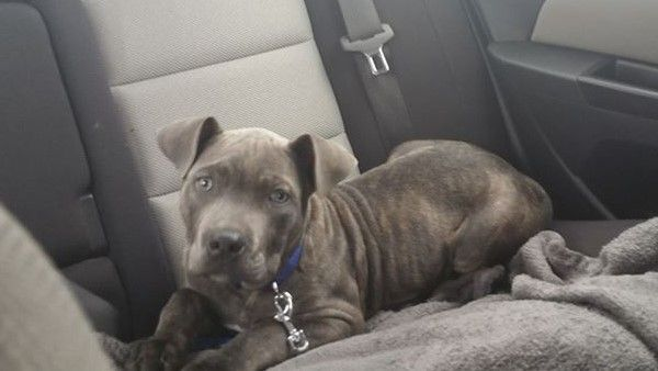 Samwise My Pitbull Cane Corso Mix Puppy On His Way To The Vet
