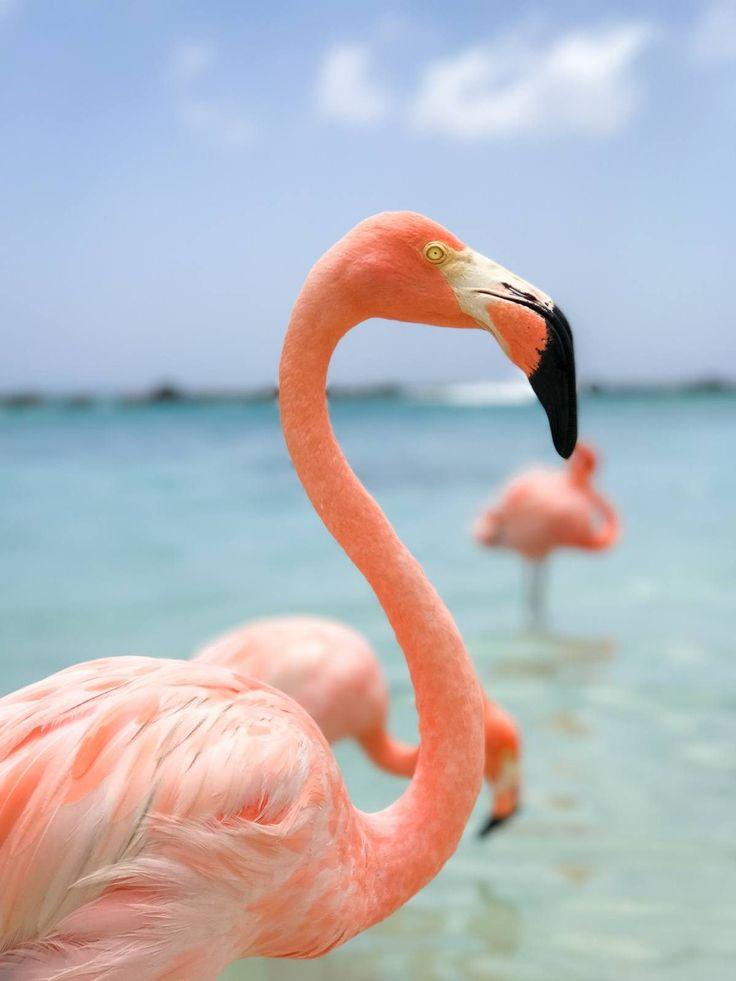 Flamingo Beach u2013 Oranjestad Aruba 14 best