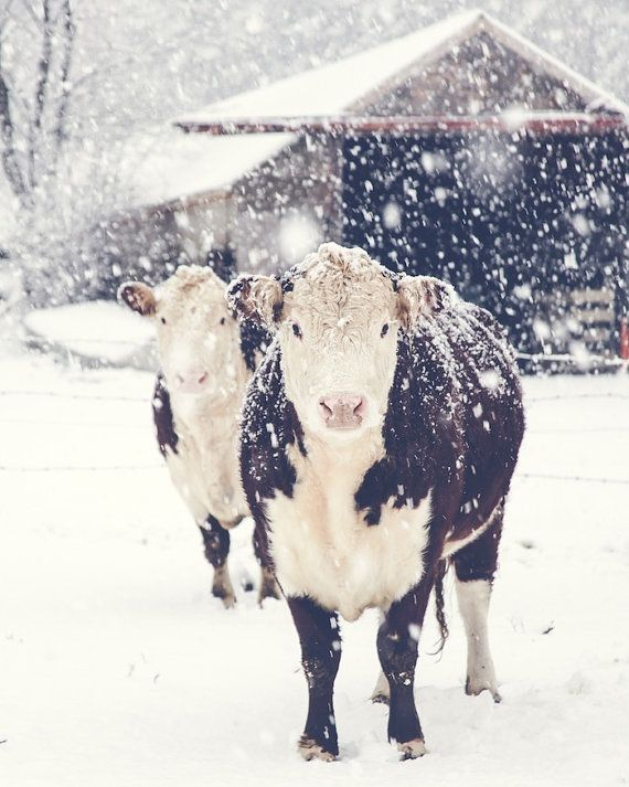 French Country Farm Cows Farmhouse Decor Winter Snow Rustic Warm Brown White Simple Style Farm Country, Fine Art Print