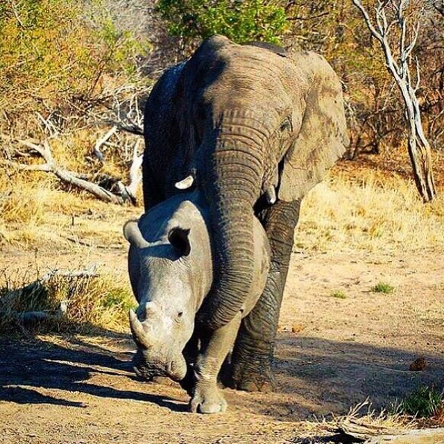 AMAZING!: Incredible shot of an elephant playing with a rhino recently in Kruger National park.