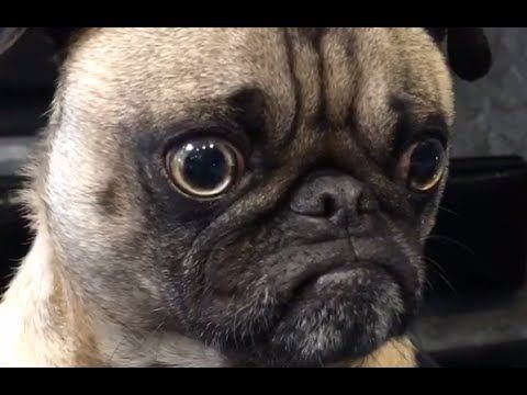 Pug Compilation 10 - Funny Dogs but only Pugs Videos | instapugs - YouTube