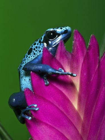 Blue Poison Dart Frog Aka Okopipi, Surinam  by Adam Jones